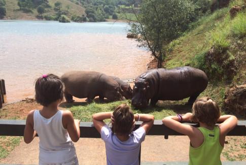 Hipopótamos en el Parque de la naturaleza d Cabárceno