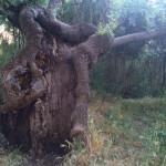 Árbol impresionante en la senda botánica de El Pardo (Madrid)
