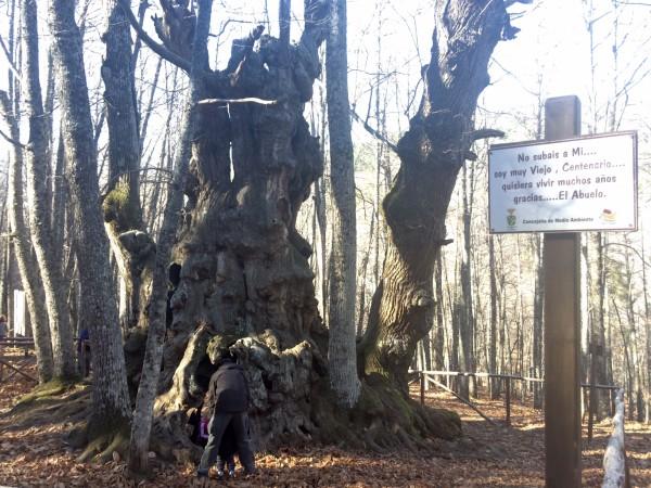 El Abuelo, el castaño centenario de El Tiemblo (Ávila)