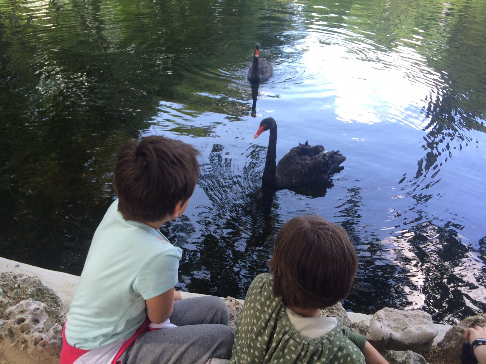 Disfrutando de los cisnes negros