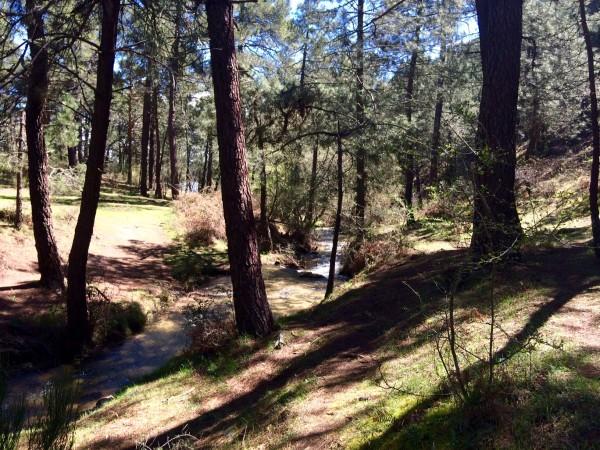 Caminando entre pinares