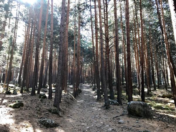 Inmensos pinares en el ascenso a los refugios