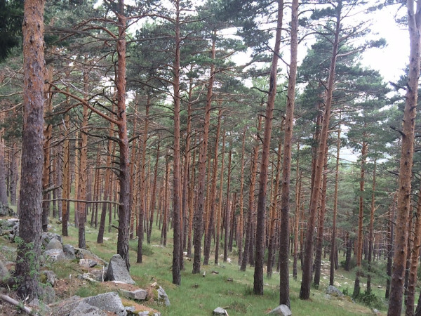 Bosque de pinares