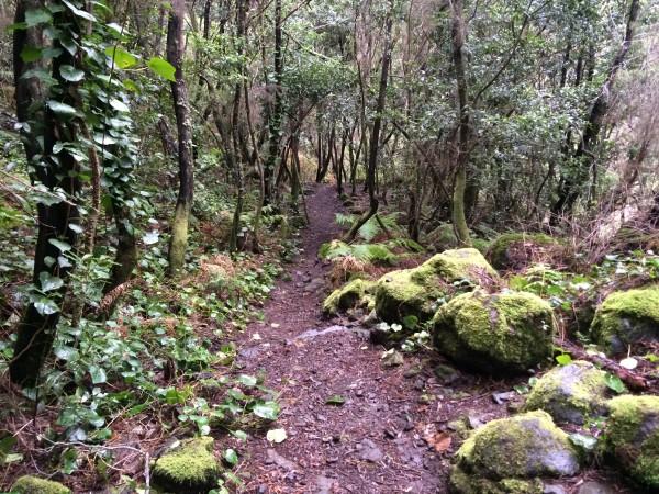 Bosque de Laurisilva en Marcos y Cordero